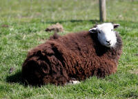 image of a Herdwick Sheep laying on the grass